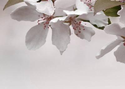 Азалия САКУРА бордовый панно 3 (250*350) 1сорт Фотография_0
